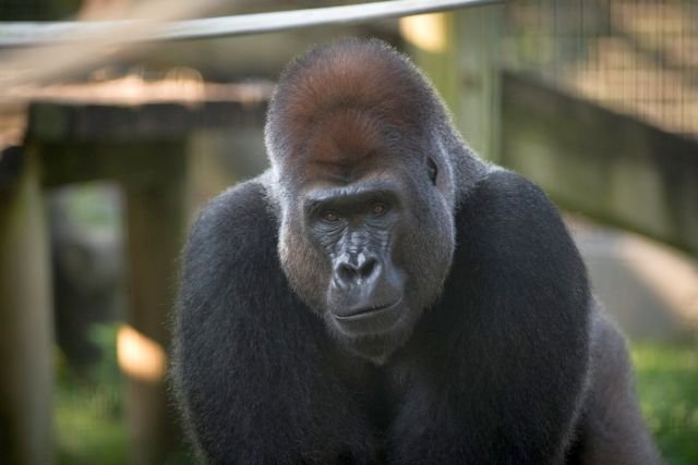 31-Year-Old Gorilla Dies at Columbus Zoo