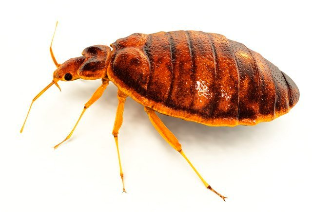 Bed Bugs Ohio Department Health