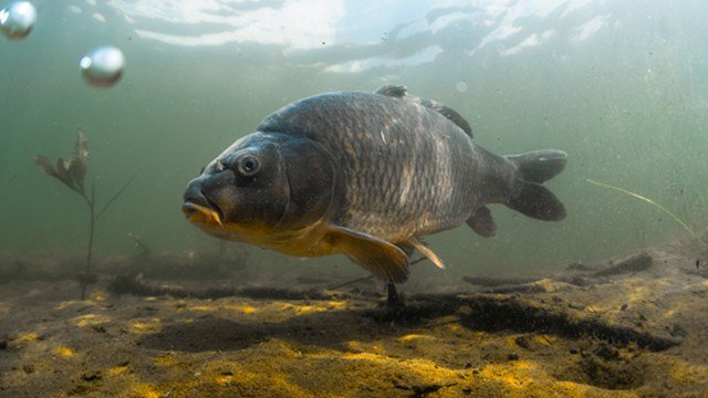 Carp dying off in pymatuning lake news weather for Pymatuning fishing report