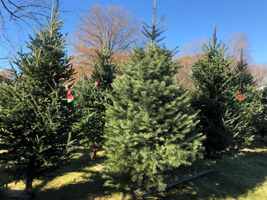 Busy weekend for Christmas tree selling businesses