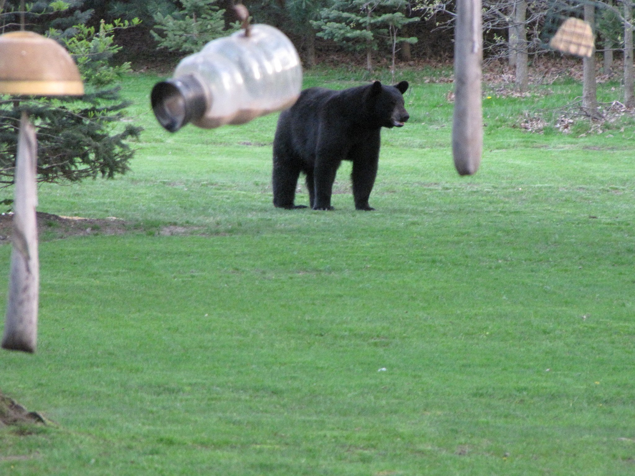 Bear in Liberty Township, courtesy of Liberty Police Department Facebook