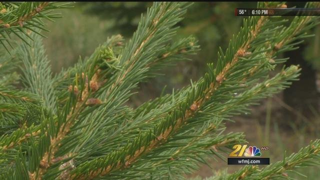 Tree Blight Hitting Christmas Tree Favorites Wfmj Com News Weather