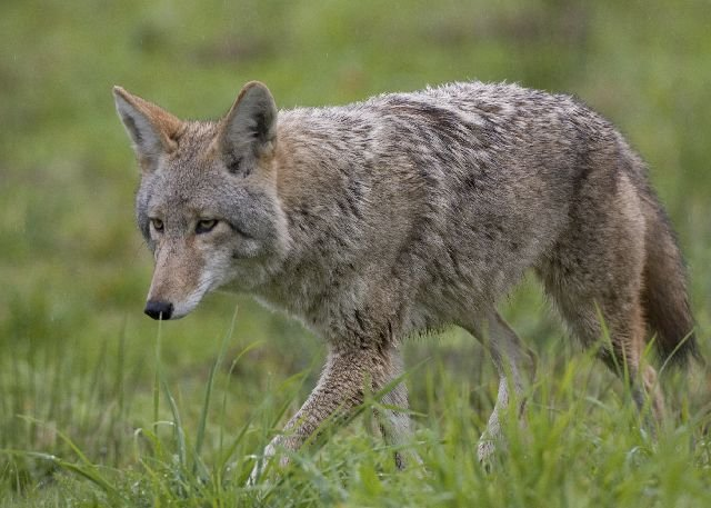 population booming Ohio - coyote WFMJ.com